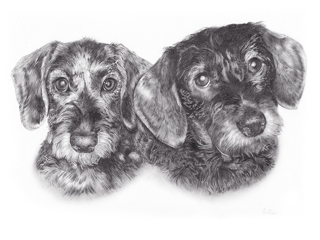 Final stage of dachshund portraits