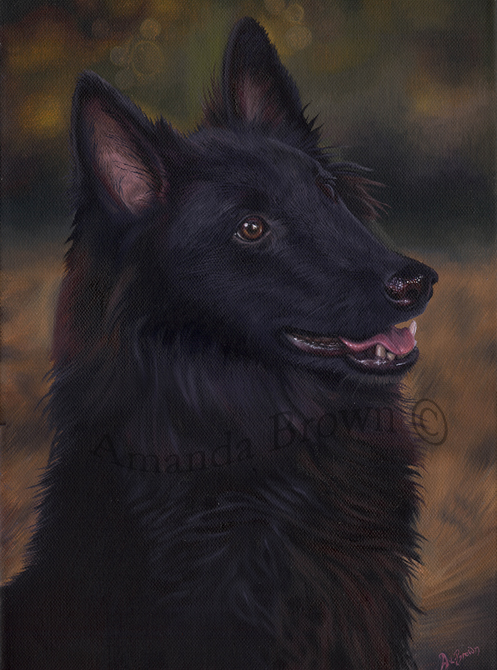 Griffin Belgian Shepherd picture