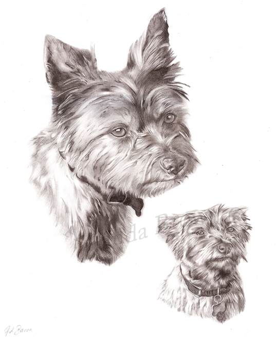 Sheena yorkie picture